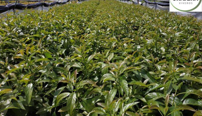 Venta de plantas de aguacates