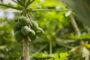 Plantación suelo y cantidad de agua para cultivar árboles de aguacates