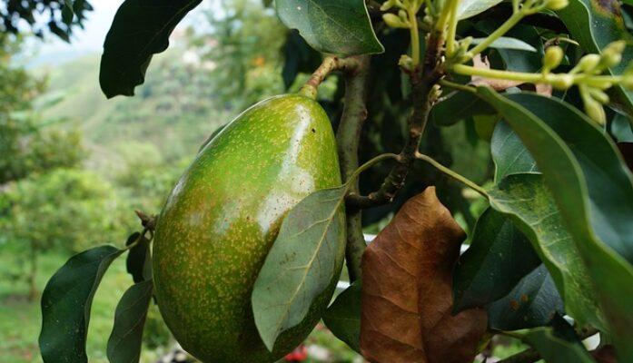 Suelo y clima adecuado para la plantación de los aguacates
