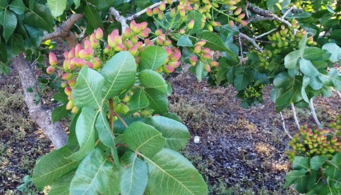Árbol del pistacho producción e información