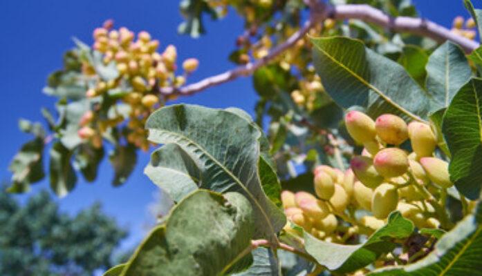 Claves para el éxito en el cultivo del pistacho