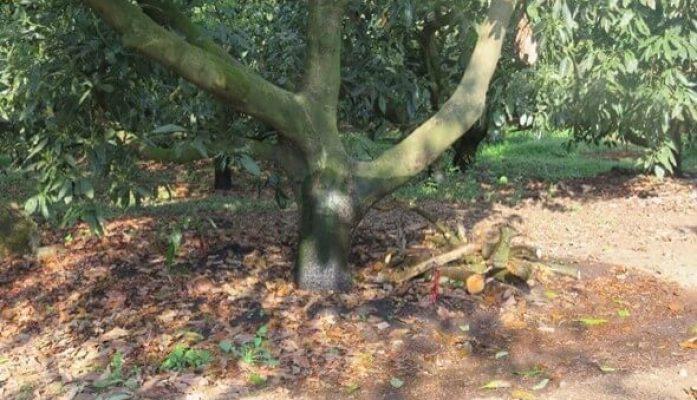 Como abonar el árbol del aguacate