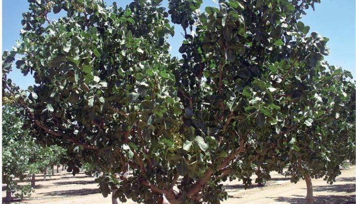 ¿Es rentable el cultivo de pistacho?