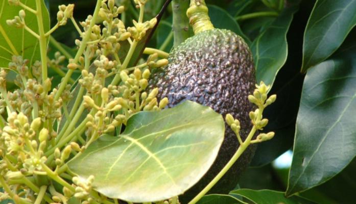 Cultivo de aguacates floración polinización y fructificación