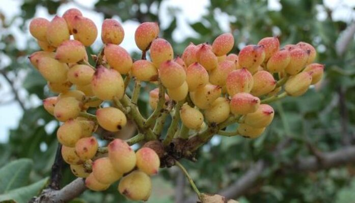 Día mundial del pistacho en España