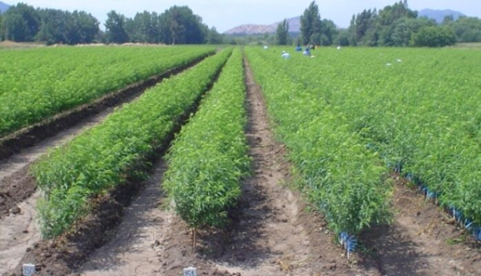 Invertir en agricultura en plantas de arándanos