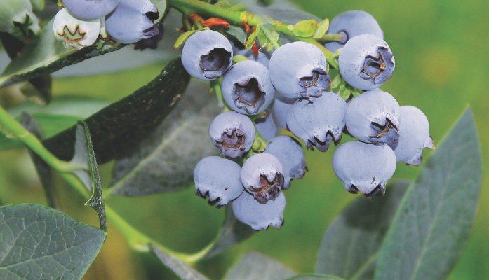 Planta de arándano Misty