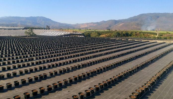 Hidroponía el cultivo empleado en las plantaciones de arándano