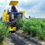 Como cosechar arándanos con la mayor rentabilidad