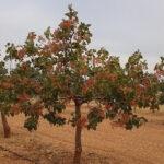 5 pasos para cultivar y producir Pistachos