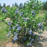 Producir arándanos cómo cultivar y plantar