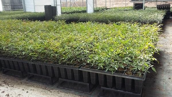 Cultivar pistachos tres métodos