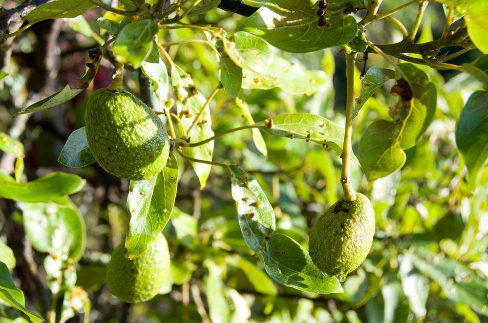 Plagas y enfermedades de un árbol de aguacate